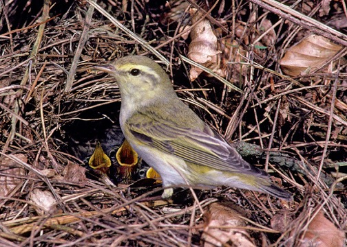 Bird-WoodWarbler_2.jpeg