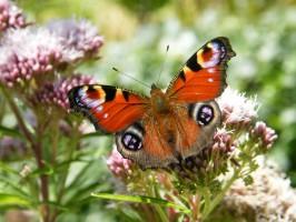 Fairhaven Woodland and Water Garden Tortoiseshell Butterfly
