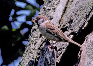 Tree Sparrow  © Ray Armstrong