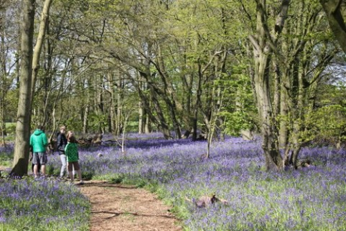 Ancient bluebell wood set to give up its spectacular secret
