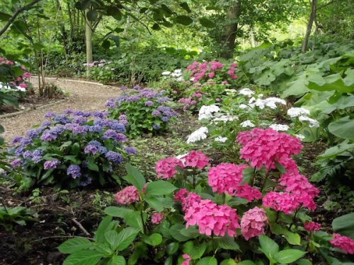 Fairhaven Garden New Hydrangea Path's Summer Colour