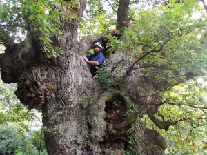 Pete Taylor Fairhaven Garden forester, inspecting the King Oak  -  Image credit Paul Dickson