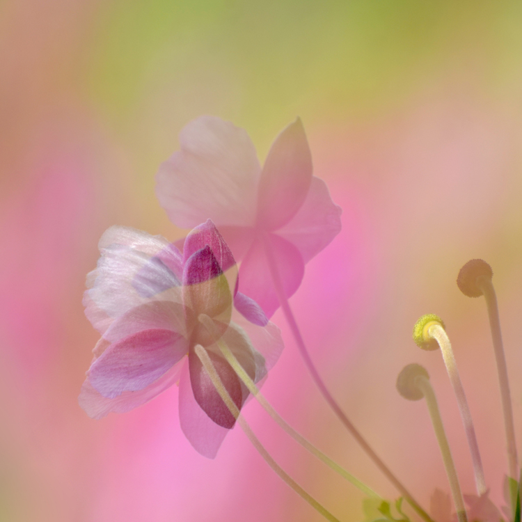 Maggie_Mole_-_Japanese_Anemone_in_the_Pink.jpg