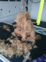 Poppy after a bath and matted hair removed