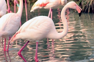 Four Famous Flamingos Retire From City Life to Relocate to Norfolk