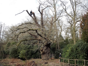 Fairhaven Garden's Ancient King Oak's Crown Gets a Trim