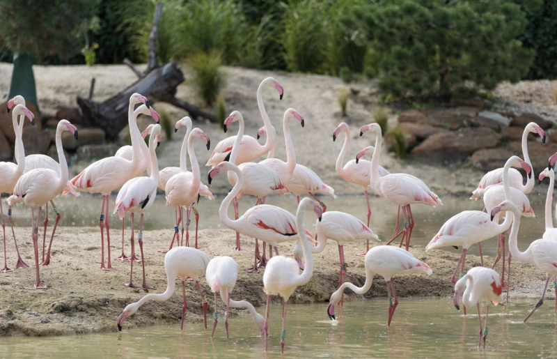 Conservationists hopeful for breeding flamingos in Norfolk